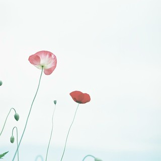 *poppy poppy | by fangchun15