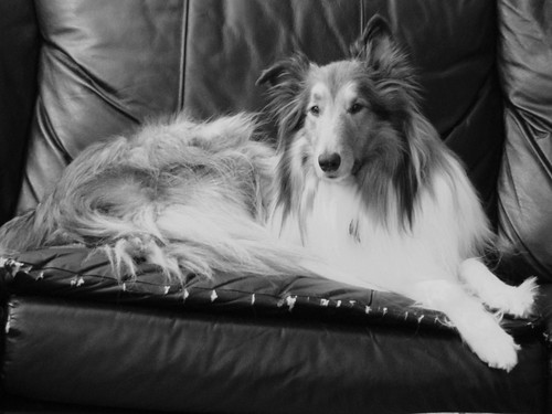 Our Cute  Rough Collie Buddy | by sylvia1sam