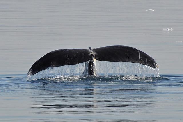 Bowhead tail flukes with Orca bite marks  Disko Bay  West GreenlandOrca Bite