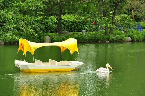 """Beim Anblick der Pelikankolonie im Luisenpark Mannheim wird man unwillkürlich wieder an die Pelikandame Quax zurückerinnert. Ihren Namen erhielt sie von dem alten Heinz-Rühmann-Film """"Quax, der Bruchpilot"""". Quax, ein frei lebender Pelikan, verbrachte viel Zeit in der Region: besonders gern im Luisenpark und im pfälzischen Vogelpark Bobenheim-Roxheim. Durch ein kleines Geschwür am Fuß war sie stets gut wiederzuerkennen. Aufgrund ihres außergewöhnlichen Verhaltens war Quax auch für Ornithologen interessant: Sie begleitete Weißstörche auf ihrer Reise in den Süden und überwinterte dort mit ihnen. Ein trauriges Schicksal ereilte den Pelikan im Jahr 2012. Mit schweren Verletzungen, Leberriss und inneren Blutungen wurde sie (gegen einen Strommast geprallt?) in der Pfalz aufgefunden und als Notfall sofort in den Luisenpark verbracht. Die tierärztliche Hilfe kam leider zu spät. Die rosafarbene Pelikandame verstarb am 16. Februar 2012 in Mannheim. Foto: Brigitte Stolle"""