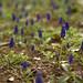 Grape Hyacinth - ムスカリ軍