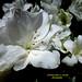 White flower.  Flor Blanca.