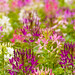 field of Cleome