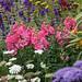 Pretty in Pink garden with Antirrhinum majus 'Double Azalea Pink'