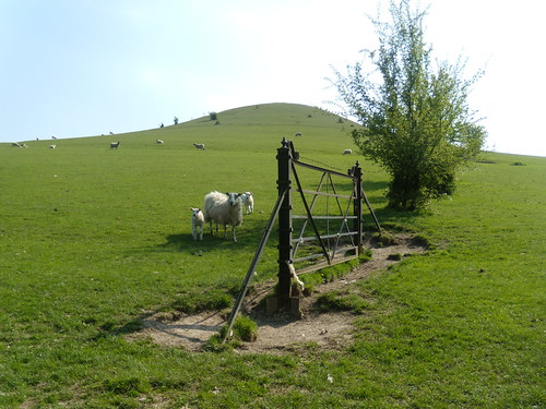 Sheep hill and gate - Chilterns | by naturalengland