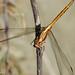 Libelinha // Epaulet Skimmer (Orthetrum chrysostigma), female