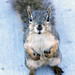 Marylhurst squirrel