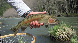 Pit River springtime Rainbow