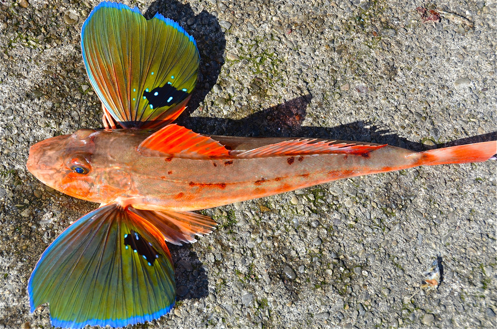 Sea robin gurnards are also called sea robins are for Types of saltwater fish to eat