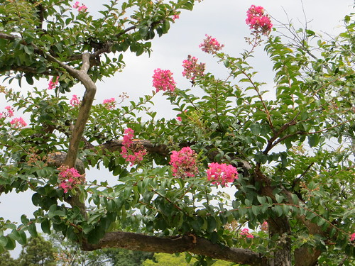 Crape myrtle in full sun | by Joel Abroad
