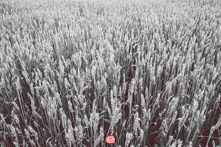 235/365 Grainfield | by Jussi Hellsten Photography