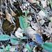 Vulnerária // Kidney Vetch (Anthyllis vulneraria subsp. maura)