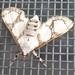 moth.1.75cm.july.1