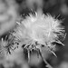 Thistle seeds, ready to fly