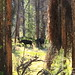 Moose Along North Inlet Trail in Rocky Mountain National Park - Northeast of Grand Lake, Colorado
