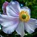 220/365 (+1) Ranunculaceae - Japanese Anemone