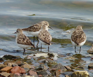 Semipalmated Sandpipers | by Dendroica cerulea