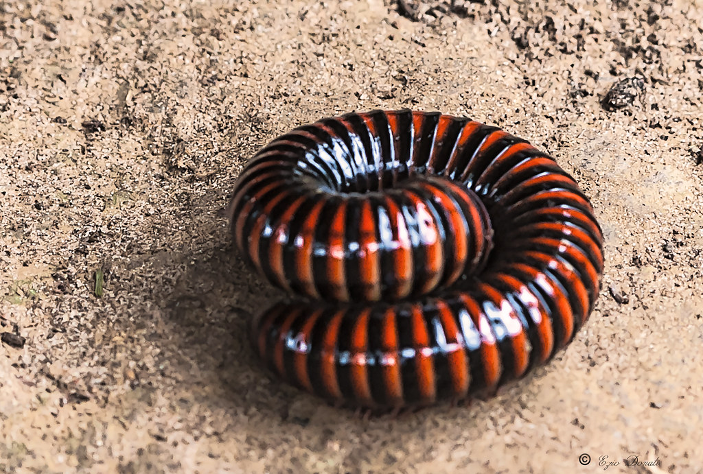 African Giant Centipede