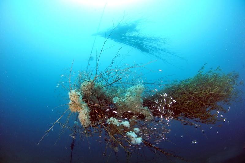 軟絲產房全景,桂竹叢仿柳珊瑚漂浮於海中吸引軟絲產卵。圖片來源:活塞教練。