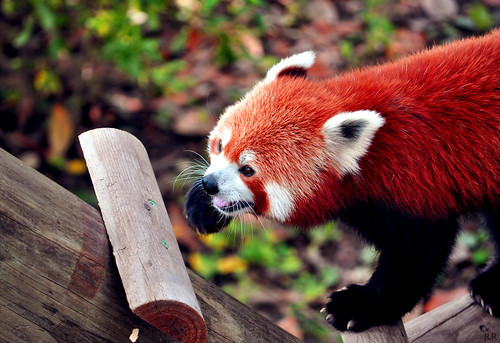 Furry Firefox | by Rricaa
