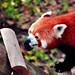 Furry Firefox
