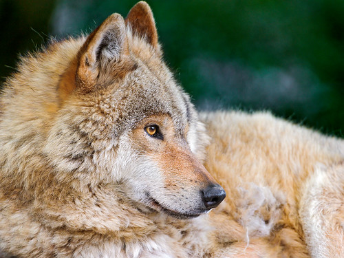 Pretty wolf profile | by Tambako the Jaguar