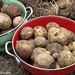 Yukon Gold and red potatoes dug up today in my kitchen garden - FarmgirlFare.com