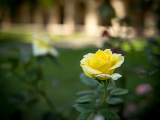 Yellow Rose Near Gates Laboratory | by debit72