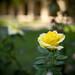Yellow Rose Near Gates Laboratory
