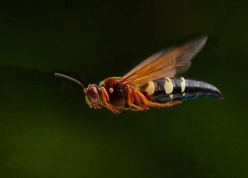 Cicada Killer Wasp in Flight | by KoolPix