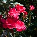 Rosa 'Radrazz' LG 8-16-12 2717 lo-res