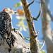 Red Bellied Woodpecker 9