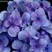 雨と紫陽花。