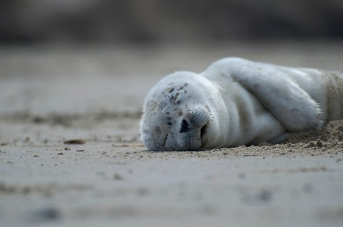 Sea Lion Pup Napping | by russell.tomlin
