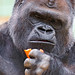 The big gorilla with a carrot