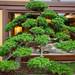 Bonsai at Nan Lian Garden_5758