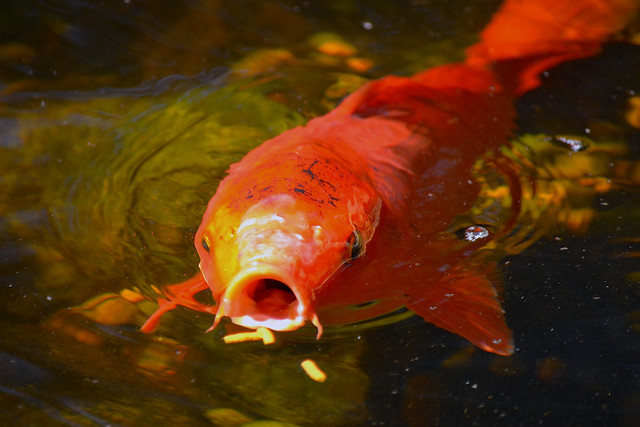 Koi feeding time flickr photo sharing for Koi feeding