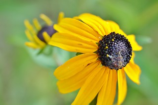nikon d5100 flower macro photography: black-eyed susan ---------- viewed 707x | by norlandcruz74