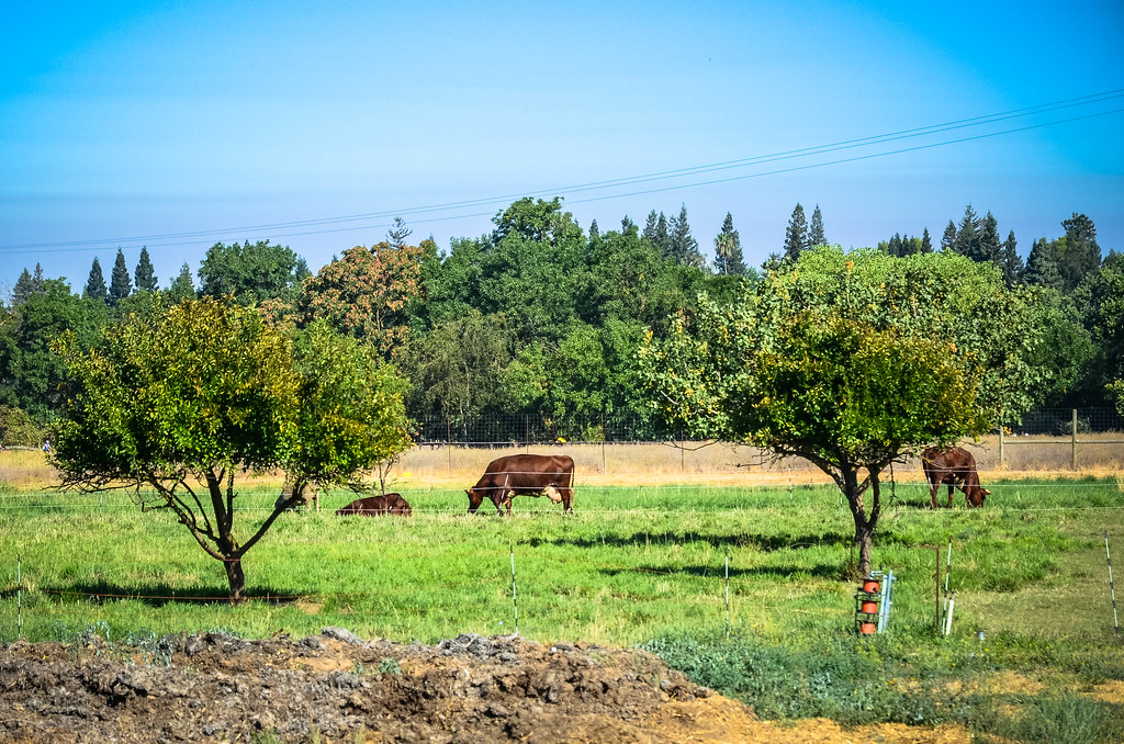 Cows in the pasture soil born farms rancho cordova for Soil born farms