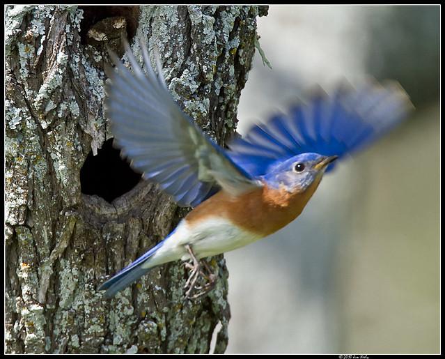 Eastern bluebird in flight - photo#21
