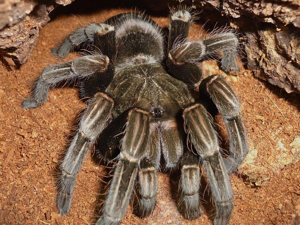 pamphobeutus sp 3 chicken spider   Drut the tank   kev ...  pamphobeutus sp...