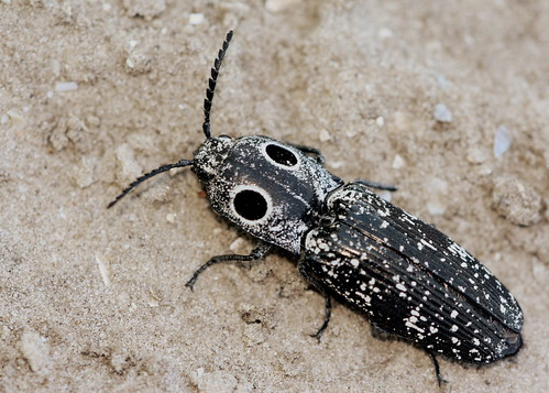 Eyed Click Beetle (Alaus oculatus) | by Mary Keim