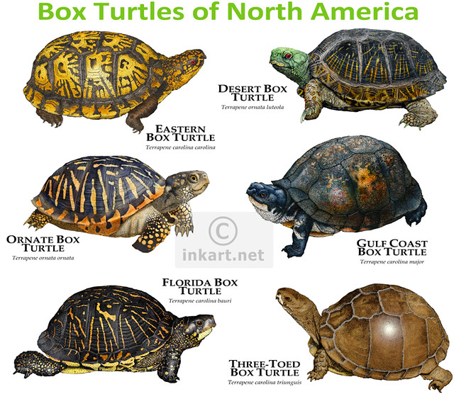 how to tell what kind of turtle i have