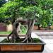 Bonsai at Nan Lian Garden_5757