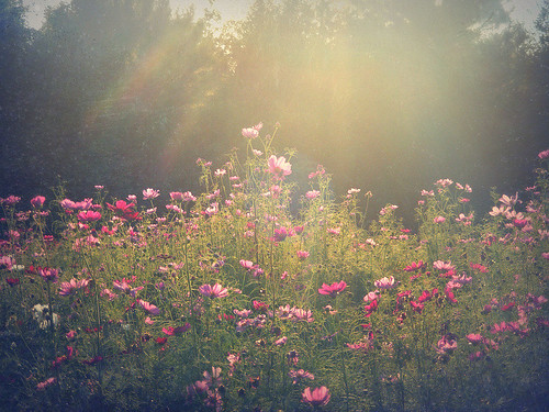 Cosmos in the Late Day Sun | by Chickens in the Trees (vns2009)