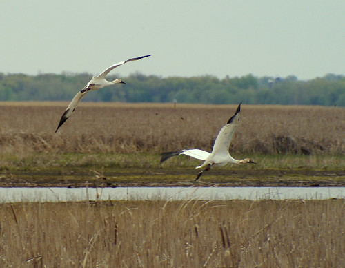 Return Of The Whooping Cranes | by cminer52