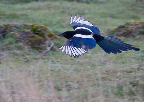 A plain old Magpie. (Explored) | by M.D.Parr