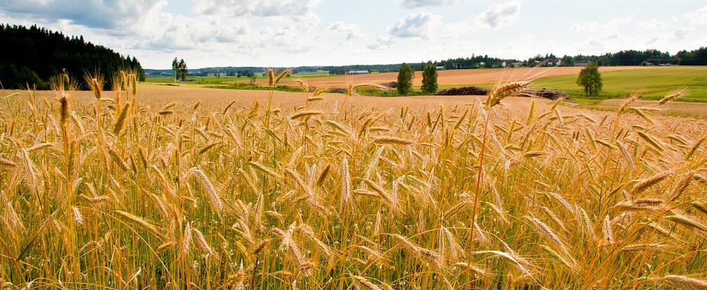 barley fields by nitrok - photo #7