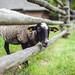 Sheep #228/366