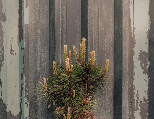 yew next to peeling metallic wall